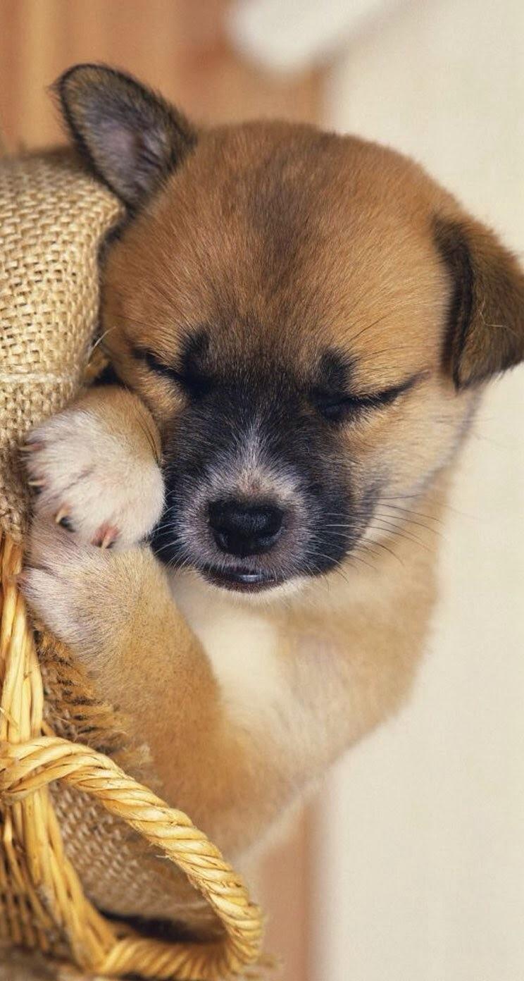 可爱萌犬手机壁纸【720*1280】7p-{forum}-{fup}-{}