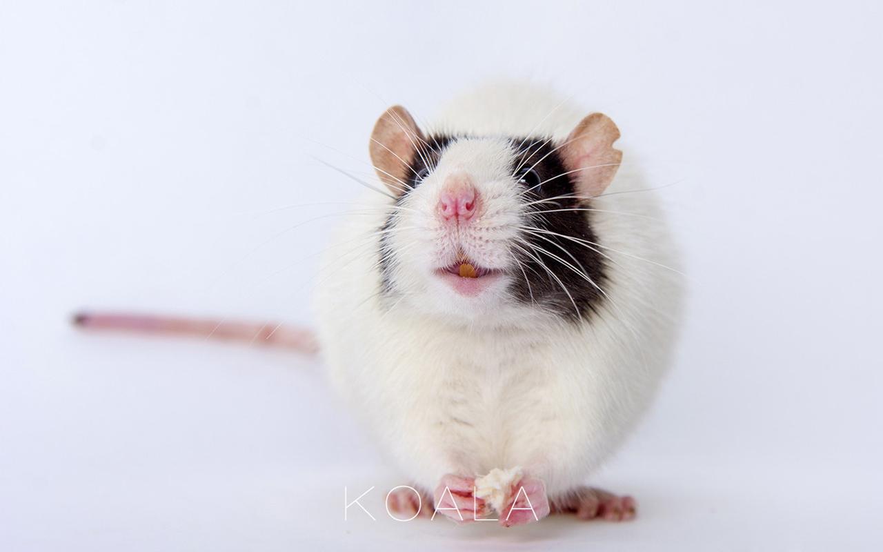 【超萌宠物花枝鼠清新摄影图片】-【联想杂谈】论坛