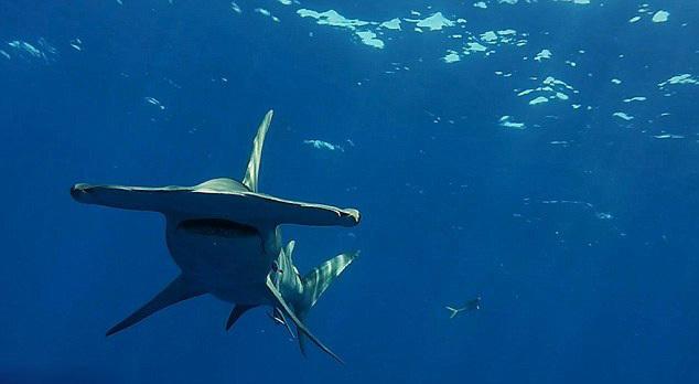 【潜水员美国深海拍摄巨型鲨鱼场面惊心】-【联想杂谈