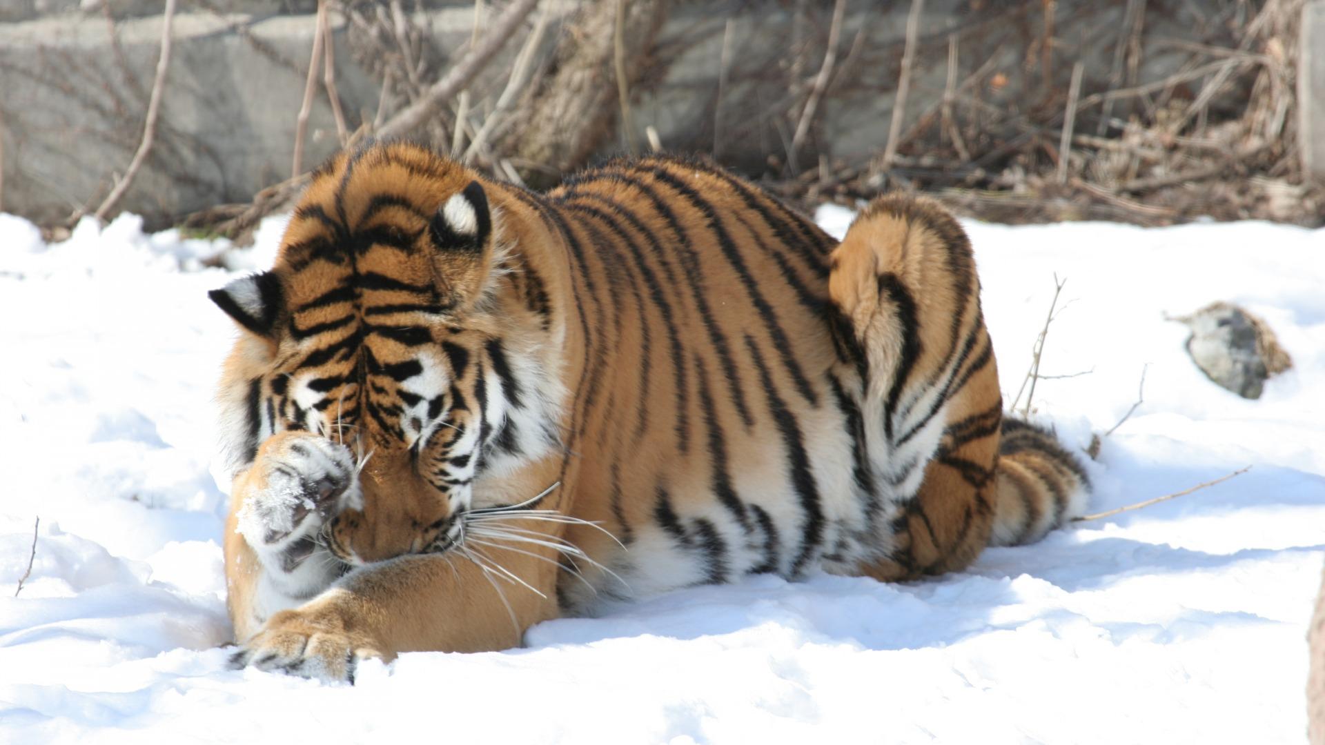 棕黄黑白条纹的老虎在雪地上可是非常的突出呀,厚厚的皮毛相信在偌大
