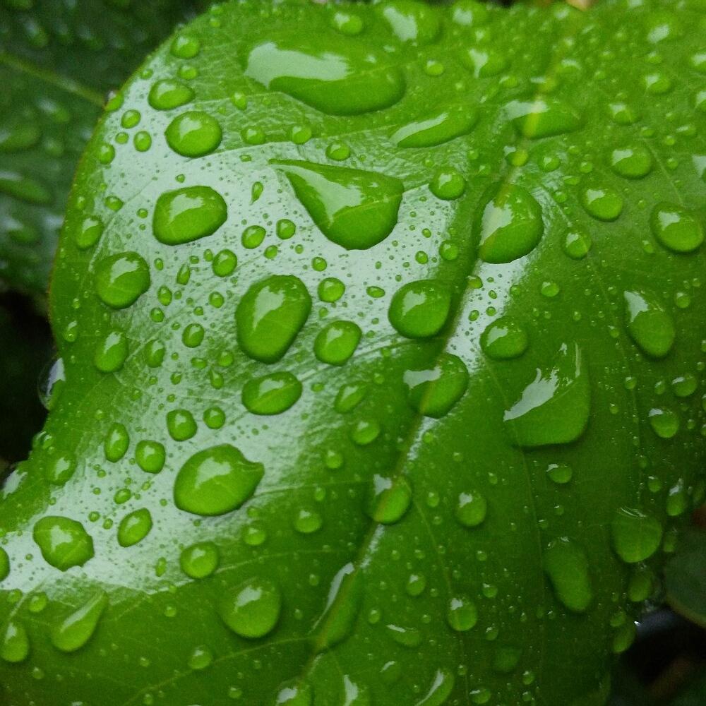 背景 壁纸 绿色 绿叶 树叶 植物 桌面 1000_1000