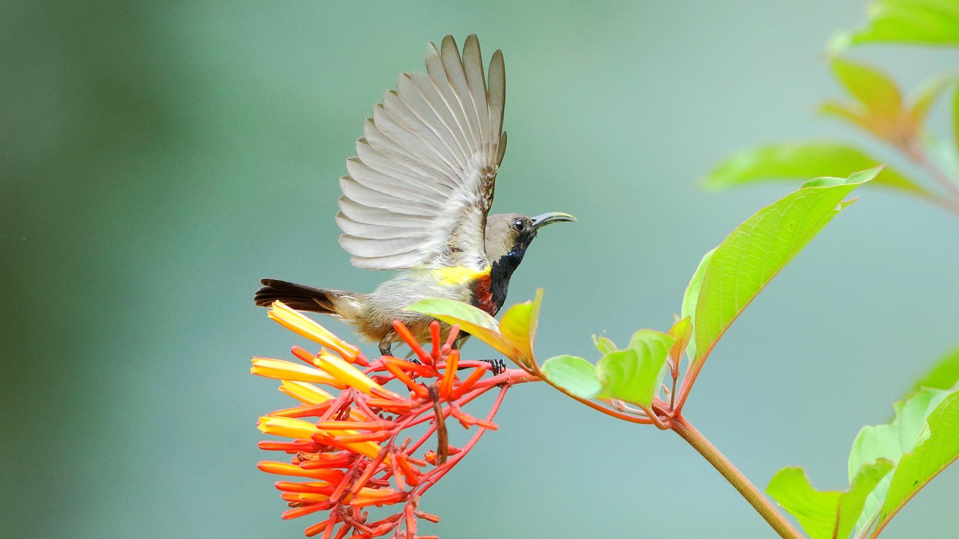 【花蜜鸟动物图片电脑1080p高清壁纸】-【联想杂谈】