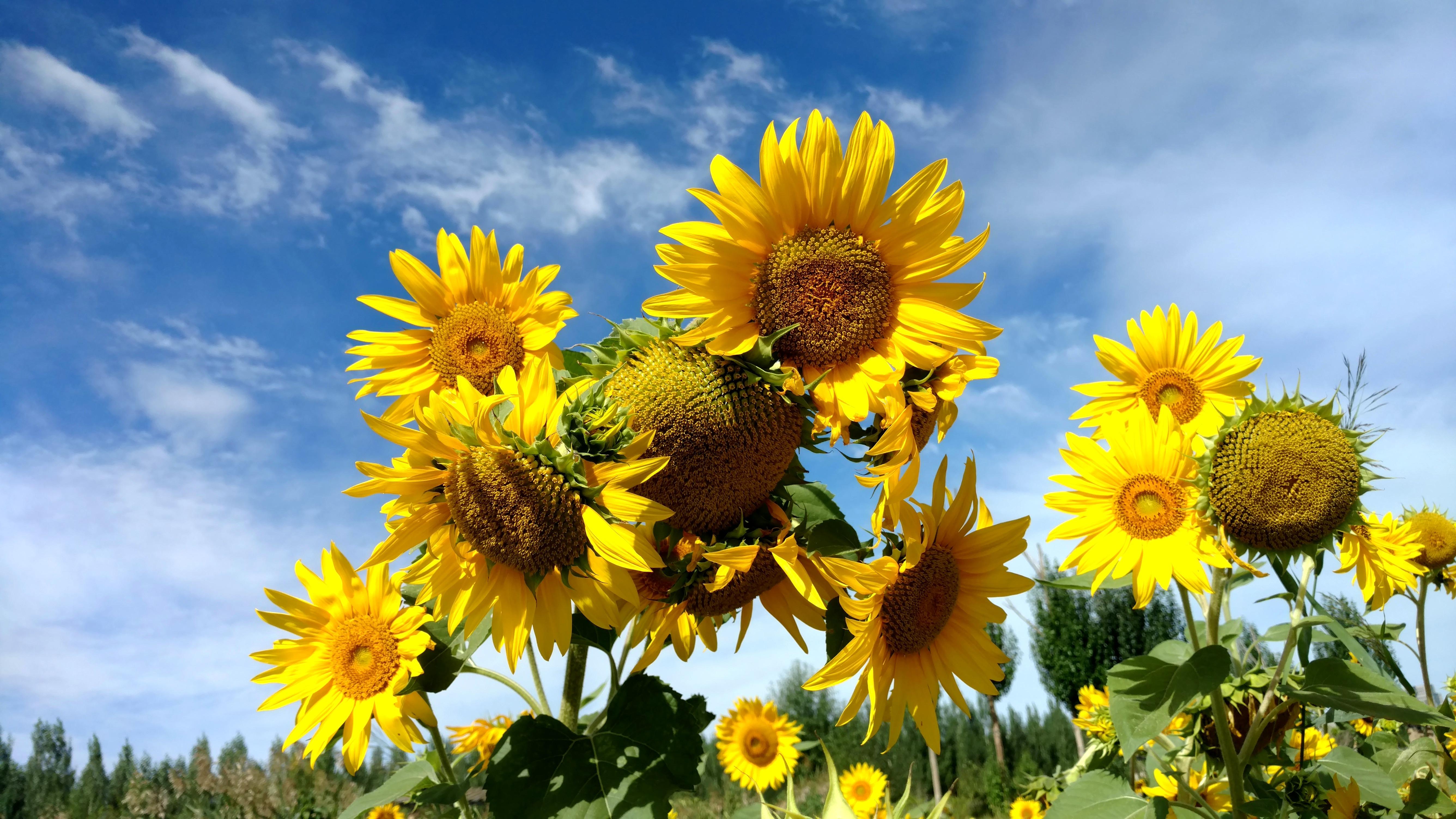 向日葵施用有机肥种植技术