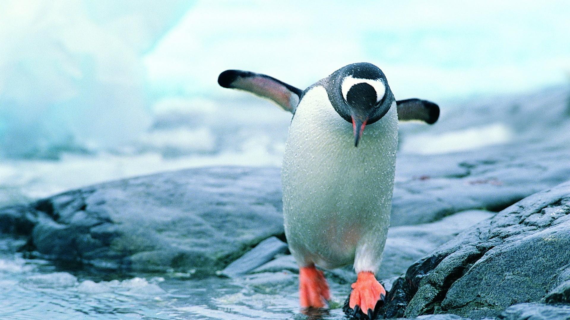 壁纸 动物 企鹅 1920_1080