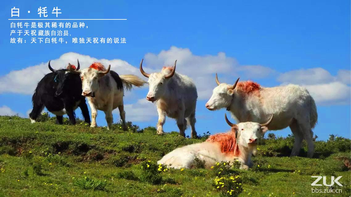 产于甘肃省武威市天祝藏族自治县的白牦牛, 是中国及世界稀有珍贵的