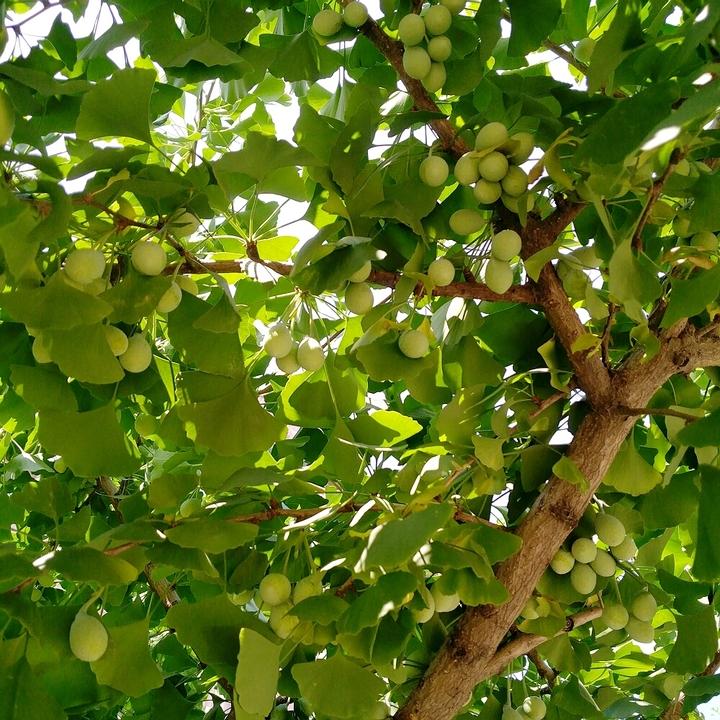 银杏树上又结满了果实